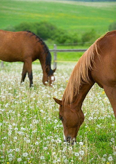 Summer Sores on Horses