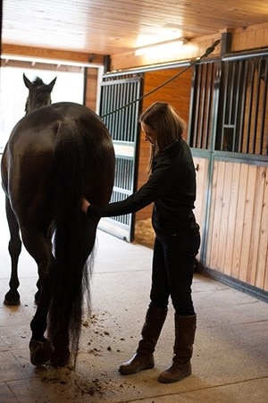 A horse owner in a barn isle brushing and grooming a horses' hindquarters.