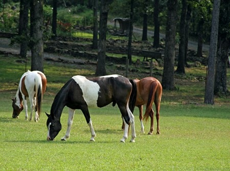 A group of three horses grazing on grass, two of them paint horses, and one a chestnut colored horse.